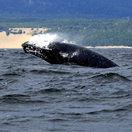 Whale in St. Lawrence River